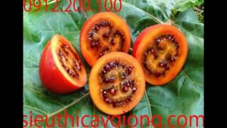 Kỹ Thuật trồng và Chăm Sóc Cà Chua Thân Gỗ Tamarillo,Hạt Giống Cà Chua Magic S