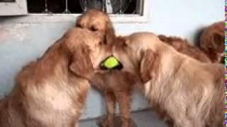 Две собаки дерутся из-за мячика и одна хочет, чтобы их разнять.