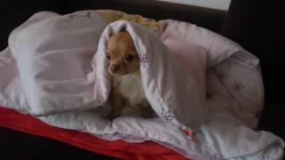 Chihuahua Wachhund gefährlich