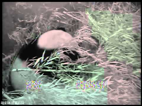 Footage of giant panda birth at the Smithsonian's National Zoo