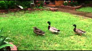 Two ducks fighting over a female