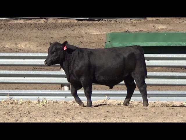 Connealy Angus Lot 69