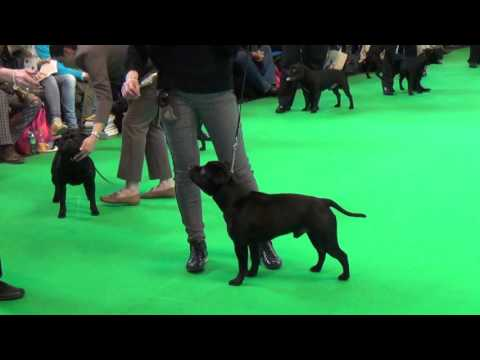 SBT open class dogs Crufts 2016