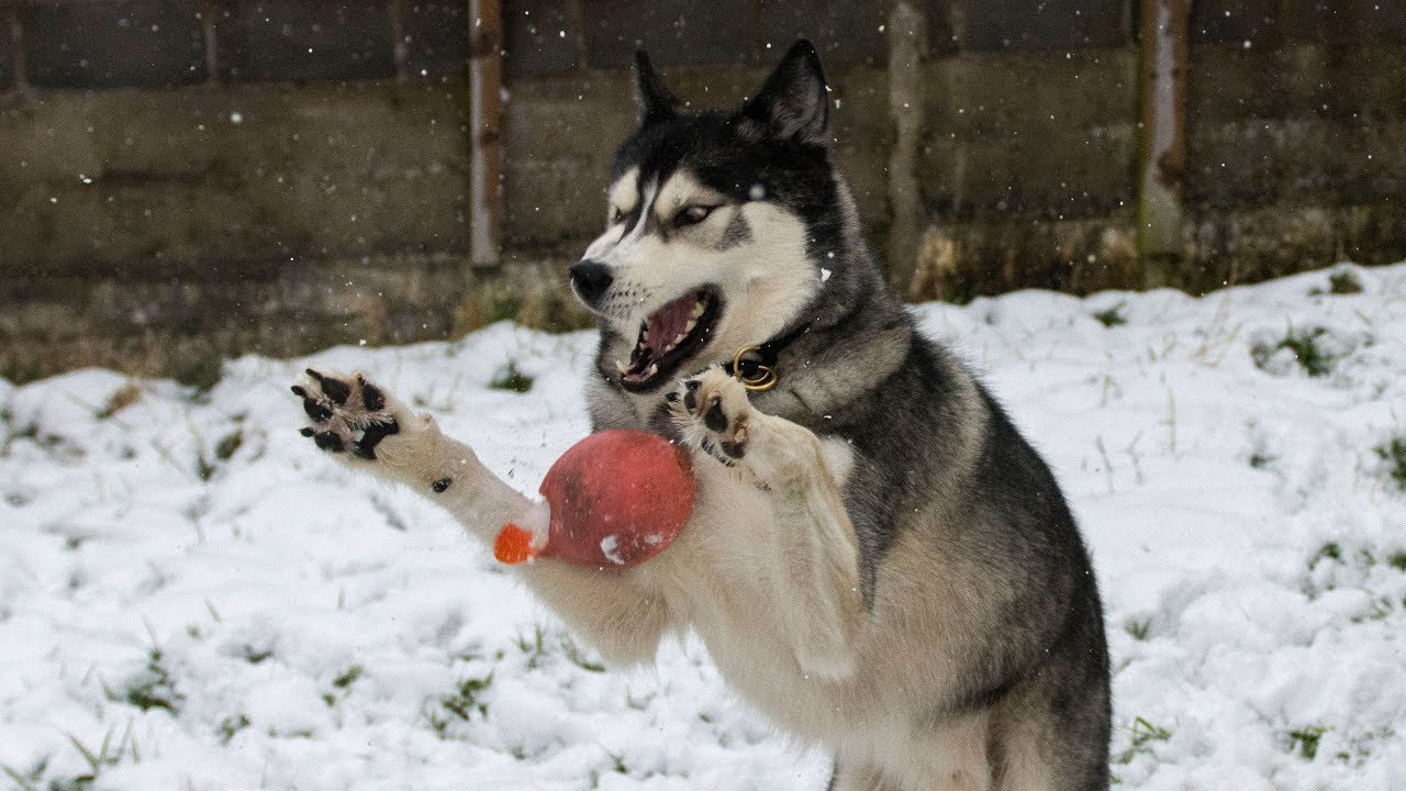Husky Fails To Catch In The Snow