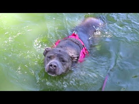 Rescue Pitbull Goes Swimming For The First Time
