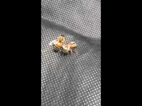 Queen bee got kicked out and attacked!