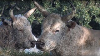 The Wild Cattle of Chillingham