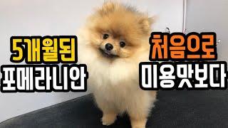 포메라니안 생애 첫 애견미용하다 포메미용과정 / Pomeranian pet grooming