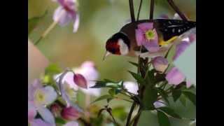 صوت طائر الحسون لغه