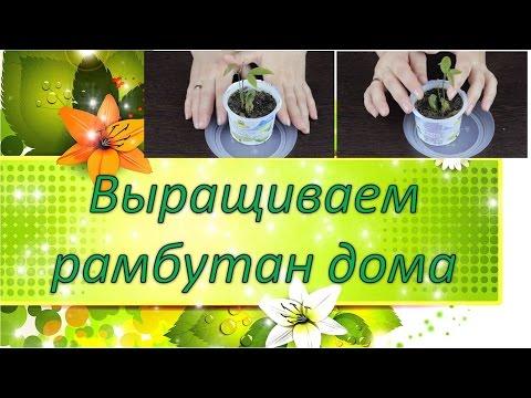Выращиваем рамбутан дома / цветок жених / кактусы