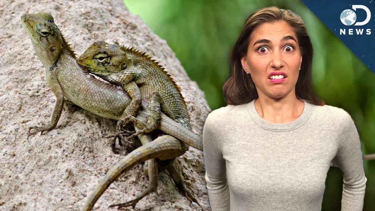 iguana doi penis