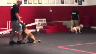 'live' Demonstration With Distraction With Sit Means Sit Dog Training