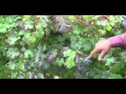 Grapevine Leafroll Disease Symptoms