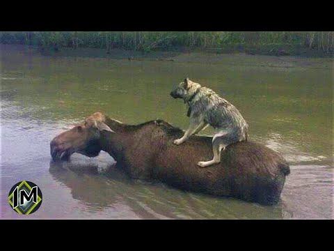 10 Incredibili salvataggi di animali da parte di altri animali