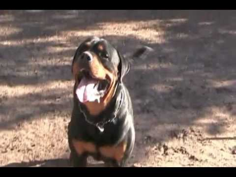 Deisel Vom Flood German Rottweiler Stud Dog Vom Schutzlowen Blut