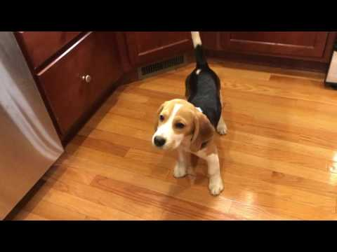 Beagle puppy is ecstatic about dinner