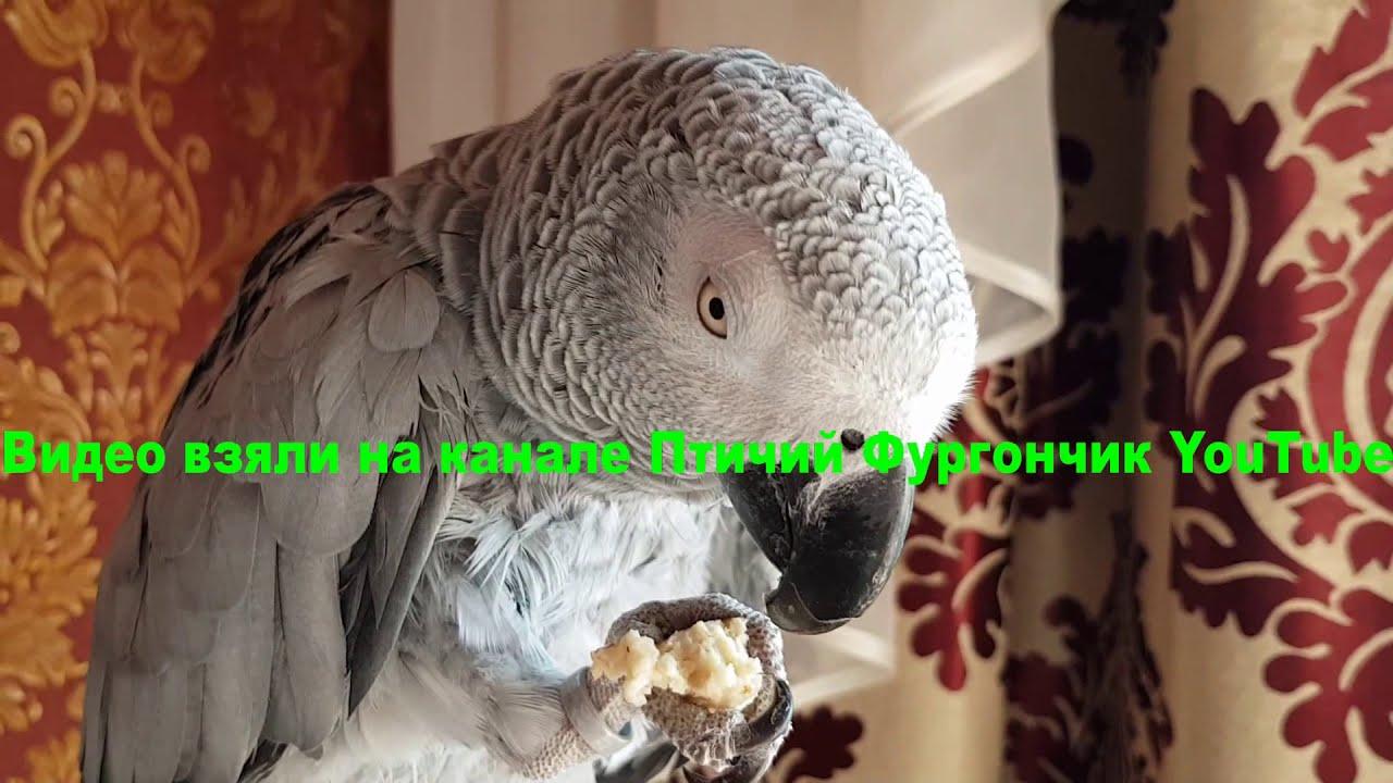 Наблатыканный попугай матершинник ругается и говорит с хозяином любвеобильный попугай Рико