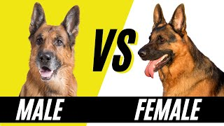 Male VS Female German Shepherd  Difference between Male and Female German Shephers