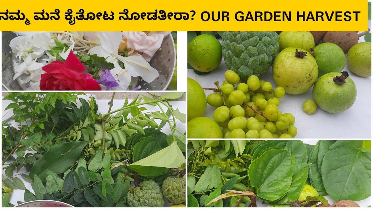 ನಮ್ಮ ಮನೆ ಕೈತೋಟ ನೋಡತೀರಾ? Our Garden Harvest|Harvesting Fruits & Vegetables from my garden|