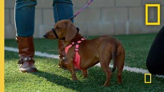 Correcting a Dachshund's Bad Habit   Cesar Millan: Better Human Better Dog