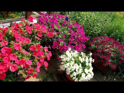 Петунии пышное цветение/Шок вейв, Изабелла  и другие - сравниваю сорта