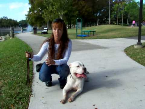 Deaf Dog Training W Dogtra Pager American Bulldog Youtube