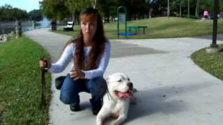 Deaf Dog Training W/ Dogtra Pager American Bulldog