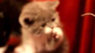Шотландские котята для Вас - Сайт Kli Fold питомник шотландских кошек