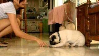 Yoda-man ! Pug Tricks