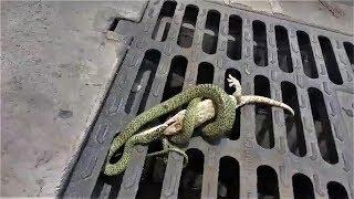 曼谷街道上演 「大守宮 VS 金花蛇」《國家地理》雜誌