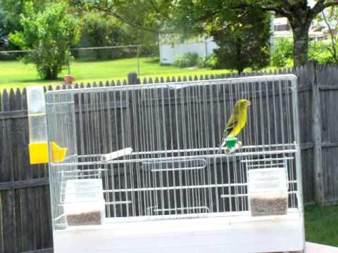 Yarrell's Siskin X African Yellow Canary hybrid