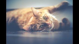 Học tiếng mèo kêu ( lời việt ) 学猫叫 TikTok | Xuân Tài và Phương Thanh