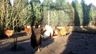 Kury rosa na wolnym wybiegu.