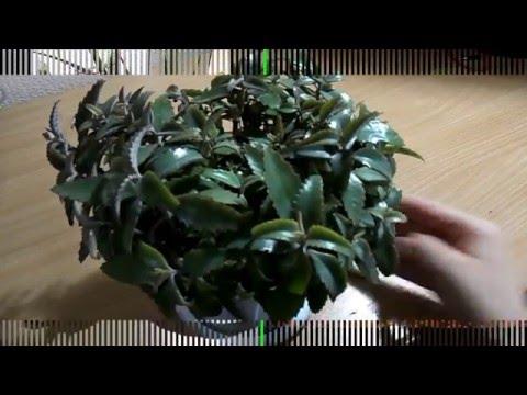 Каланхоэ как сформировать растение красиво!?