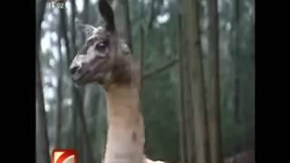 Lamas no Parque Biológico da Serra da Lousã