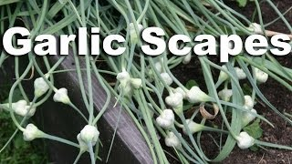 Harvest & Cook Garlic Scapes : Gardenfork.tv #11 Hd