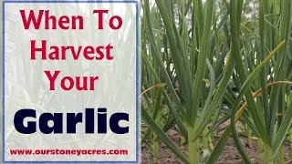 GArdening Tips: When to Harvest Garlic (Ep10)