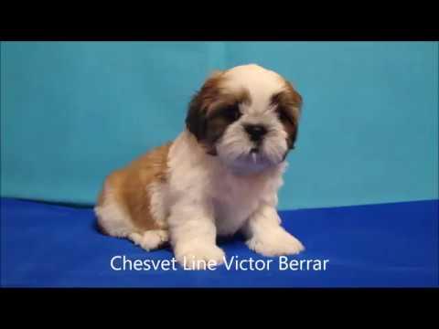 Shih Tzu Puppies Name Victor Berrar Youtube