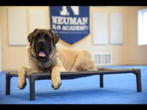 Windy (Mastiff) Boot Camp Dog Training Demonstration