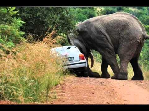 Road Rage Elephant Style.wmv