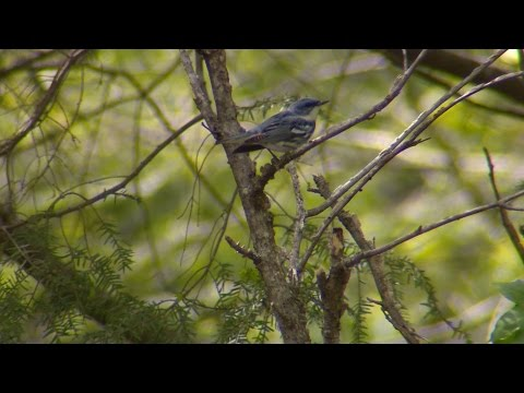 Wild SideTV-Neotropical Migratory Songbirds