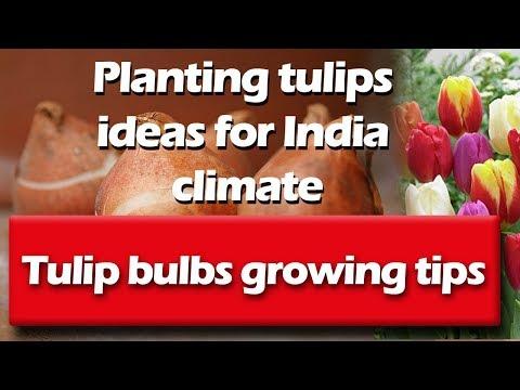 Winter Flower Tulip Bulbs Planting In India/भारत में सर्दियों के फूलों की ट्यूलिप बल्ब रोपण (hindi)
