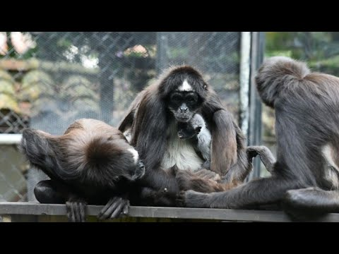 Colombian zoo shows off newborn spider monkey