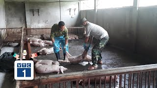 Lào Cai: Tiếp tục xuất hiện ổ dịch tả lợn