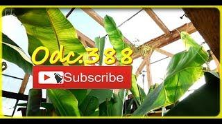 🌴👍Odc.388-Rośliny egzotyczne-styczeń 2018. Amatorska uprawa, różne gatunki.Szklarnia