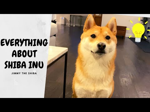 Is Shiba Inu Really Difficult? [Things You Should know BEFORE getting a Shiba Inu] | Super Shiba