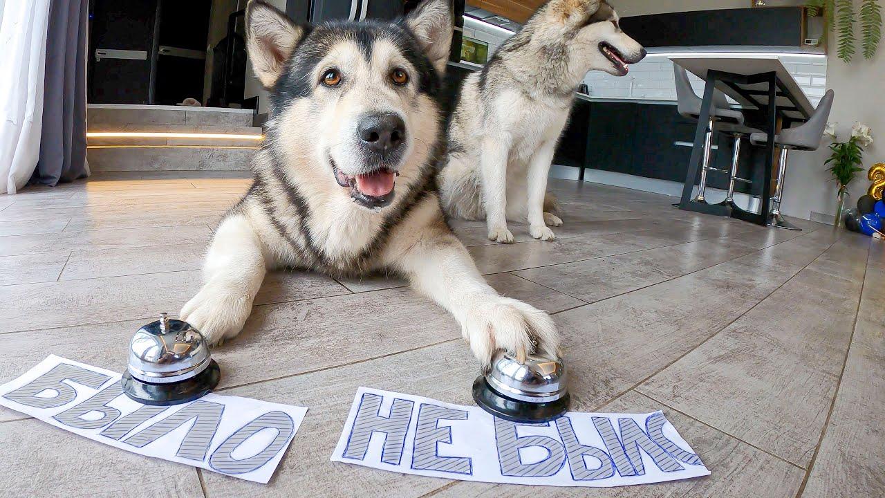 Собака разговаривает! БЫЛО НЕ БЫЛО / Говорящий хаски и маламуты