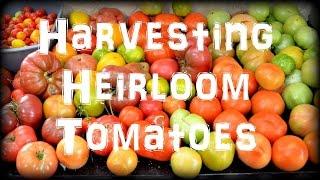 Harvesting Heirloom Tomatoes in the Garden