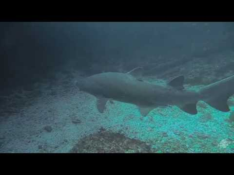 Sand tiger sharks (Carcharias taurus) on Aliwal Shoal South Africa
