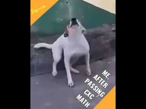 Dog dancing to soca -  splinters